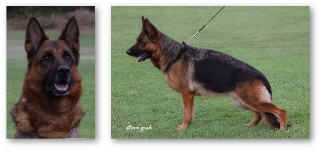 V Phina v Haus Brezel, Sch. 2, German Shepherd Female