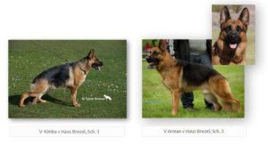 V Kimba v Haus Brezel, Sch. 3 and V Arman v Haus Brezel, Sch. 3 upcoming litter, german shepherd puppies