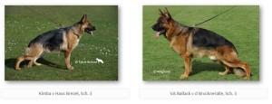 Kimba v Haus Brezel, Sch. 3 & VA Ballack v d Bruckneralle, Sch. 3 upcoming litter, german shepherd puppies