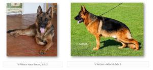 V Phina v Haus Brezel, Sch. 2 and V Netzer v Aducht, Sch. 3 upcoming litter german shepherd pups
