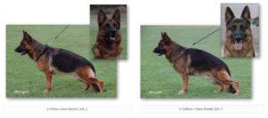 Phina v Haus Brezel, Sch. 2 and V Ustinov v Haus Brezel, Sch. 3 upcoming litter of german shepherd puppies