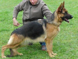 Rosemarie v Haus Crista, young female German Shepherd for sale