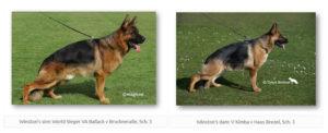 Winston's sire World Sieger Ballack v Bruckneralle, Sch. 3 and dam V Kimba v Haus Brezel, Sch. 3