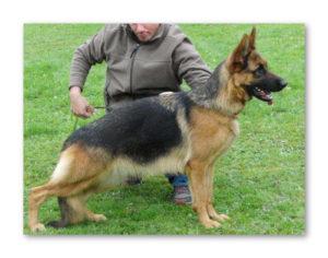 German Shepherd dam Brenda Kalevestra