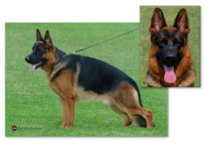German Shepherd sire Marlo v Fixftutta